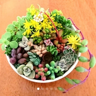 ミイコ3856様専用♥️多肉植物 セダム♥️(その他)