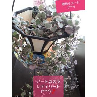 ハートカズラ レディハート 抜き苗 10本(その他)