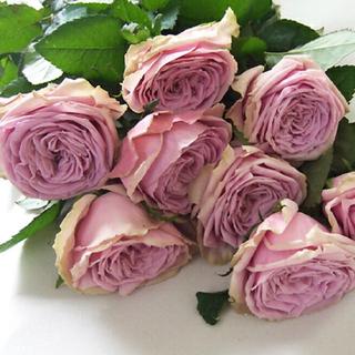 バラ苗 切花品種 ラベンダーピンク ★ブルーミルフィーユ ★(その他)