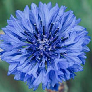 花の種 ハーブ 種 矢車菊 ブルーボーイ 種子(その他)