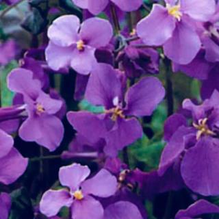 ムラサキハナナ 紫花菜 種(その他)