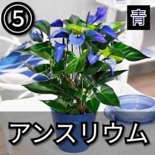 【アンスリウム⑤】ブルー 種子20粒(その他)
