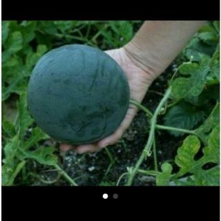固定種シュガーベイビーの種(野菜)