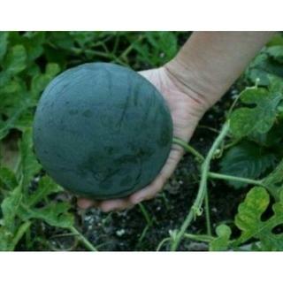 シュガーベイビーの種❤️35粒~❤️330円(野菜)