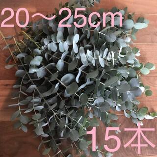 ユーカリ フレッシュ カット 20〜25cm 15本 ドライ スワッグ(ドライフラワー)