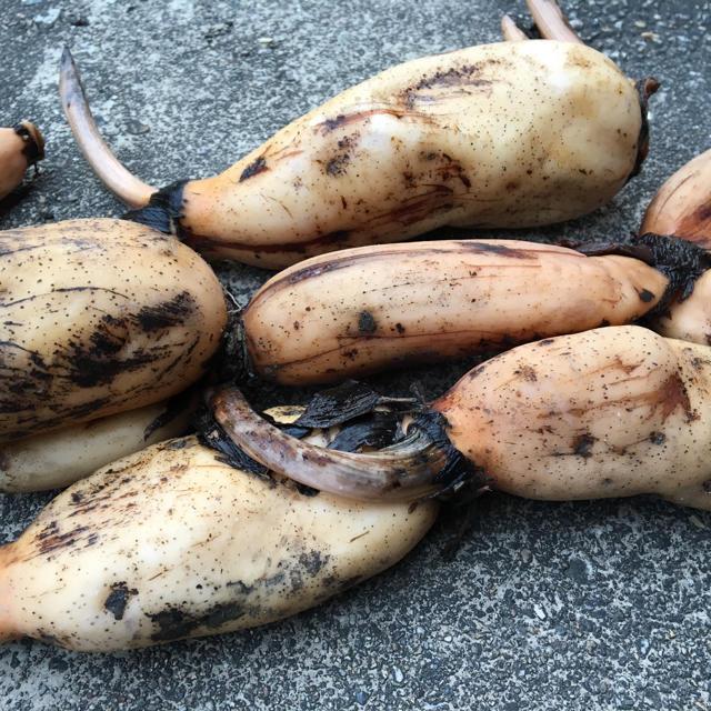 レンコン 蓮根 食用 優良種 種子 種 蓮 はす 家庭菜園 花 献花 球根 根菜 食品/飲料/酒の食品(野菜)の商品写真