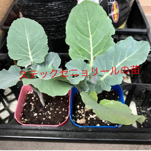 スティックセニョリールの苗4株 食品/飲料/酒の食品(野菜)の商品写真