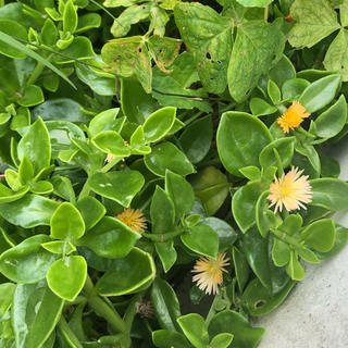 レア❗️ベビーサンローズ黄色花✳多肉植物カット苗(その他)