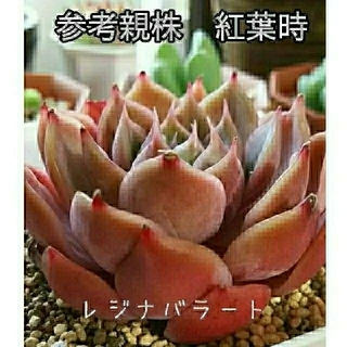 多肉植物 レジナバラート (その他)