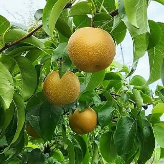梨(豊水)11個前後 ご家庭消費用 山形県産