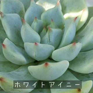 多肉植物 ホワイトアイニー(その他)