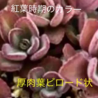 多肉植物  ペンテリー      プレクトランサス属(その他)