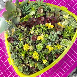 多肉植物セダムカット苗80本♪ブロンズ姫ミニ苗1カットプレゼント中❣️(その他)