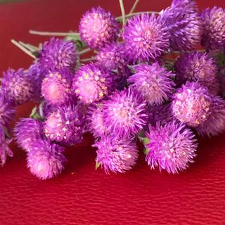 ドライフラワー花材センニチコウ50本(ドライフラワー)