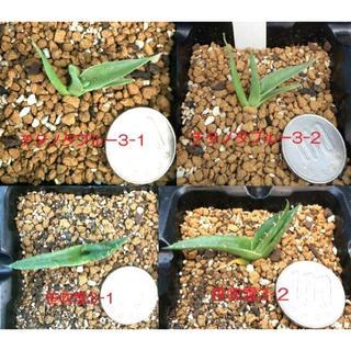 再値下げ‼️多肉植物 アガベ 3種 実生苗 カキ仔 セット3(その他)
