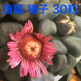 唐扇 種子 30粒(その他)