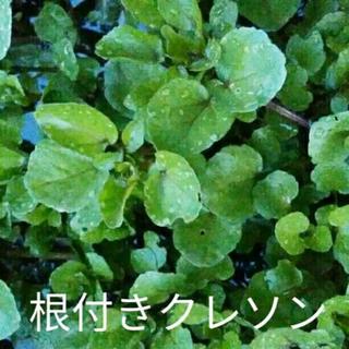 【天然★無農薬根付き】クレソン【6本】