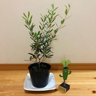 観葉植物 オリーブの木(ミッション)(ドライフラワー)