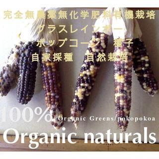 自家採取種 70粒 グラスレインボー ポップコーン オーガニック(野菜)