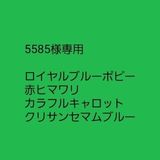 【防虫系植物】防虫クリサンセマムブルー 微芳香 種子12粒(その他)
