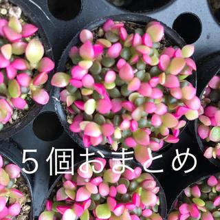 多肉植物 アナカンプロセス  人気種 桜吹雪 赤ちゃん苗 ポット発送 ピンク(その他)