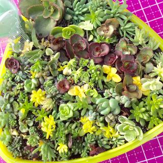 多肉植物セダムカット苗80本♪シルバーグラスプレゼント中❣️(その他)