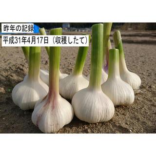 そろそろ植えどき!ニンニク 種球 ホワイト種 発芽確率90%以上!数量40片(野菜)