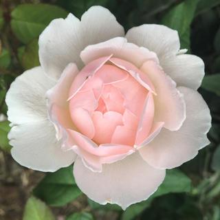薔薇苗  シャリファアスマ(その他)