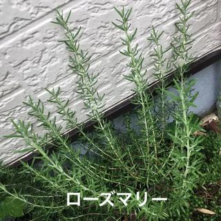 ローズマリー(マジョルカピンク) カット苗10本(その他)