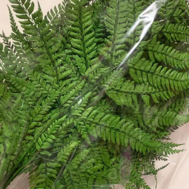 希少 ヒメワラビ グリーン 5本 ハーバリウム花材 ハンドメイドのフラワー/ガーデン(ドライフラワー)の商品写真