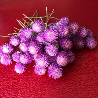 ドライフラワーハーバリウム花材センニチコウ50本(ドライフラワー)