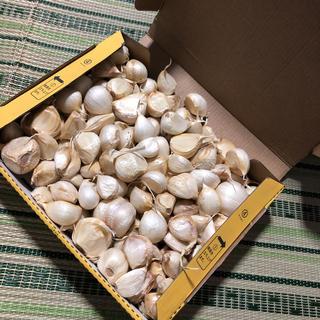 青森県産 にんにく 訳あり 1.3キロ 福地ホワイト(野菜)