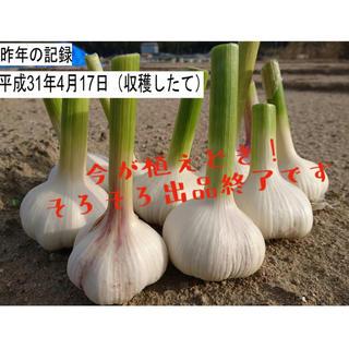 今が植えどき!ニンニク 種球 ホワイト種 発芽確率90%以上!数量40片(野菜)