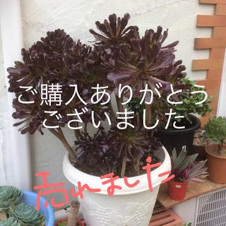 多肉植物 黒法師 カット❣️(その他)