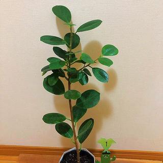 観葉植物 パンダガジュマル①(その他)