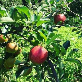 大山山麓 無農薬 無化学肥料栽培 りんご2kg 送料込(フルーツ)
