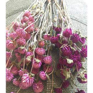 千日紅ピンク&パープル茎付き50輪以上値下げ(ドライフラワー)