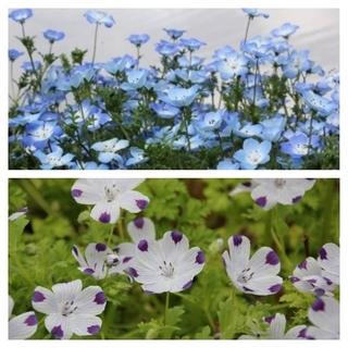 今がまき時の花の種  ネモフィラ2種類を各30粒(その他)