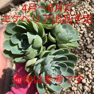 ☆エケベリア 七福神☆(その他)