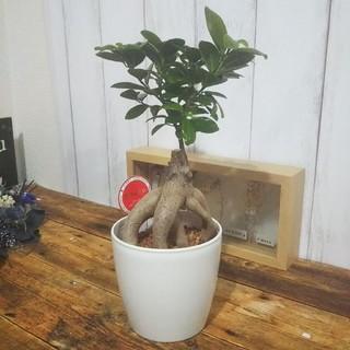 送料無料‼️再入荷♪可愛いガジュマル♪聖木*精霊宿るされている観葉植物(プランター)