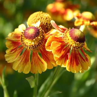 へレニウム ロトゴールド 花の種 イエロー(その他)