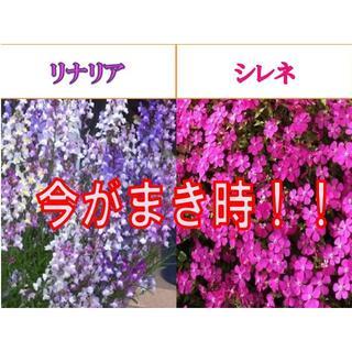 今が蒔き時!リナリア(姫金魚草)の種200粒とシレネ・ピンクパンサーの種100粒(その他)