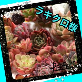 ラッキークローバー様専用♡多肉植物(その他)