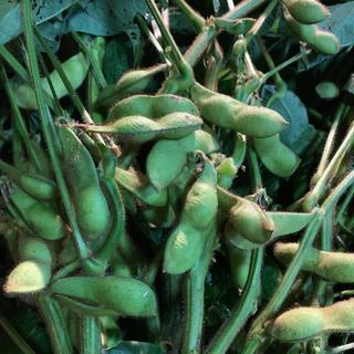 丹波黒豆枝豆 (野菜)