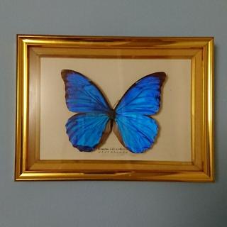 昆虫  蝶々標本