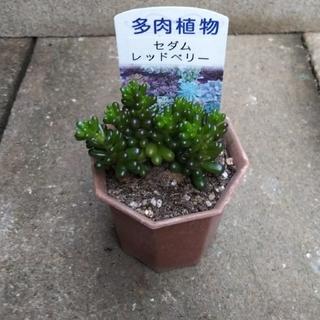 多肉植物           レッドベリー(その他)