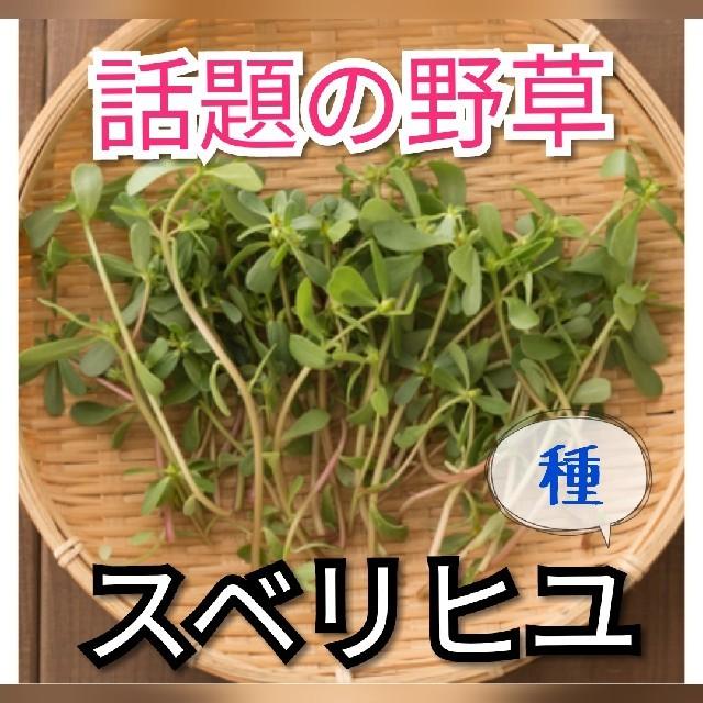 野草で元気に!天然物 スベリヒユ 種40個 食品/飲料/酒の食品(野菜)の商品写真
