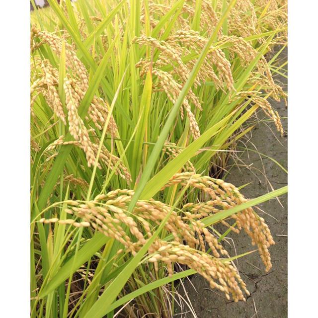 新米☆ヒノヒカリ【10㎏】 食品/飲料/酒の食品(米/穀物)の商品写真