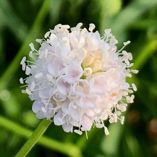 サクシサ フロステッドパールズ 花の種 サクシセラ スッキセラ(その他)