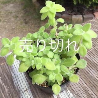 多肉植物   抜き苗    シルバーグラス②(その他)